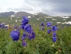 Цветы на склоне перевала Угульский